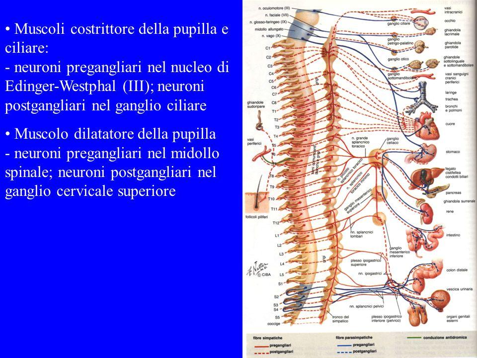 Muscoli costrittore della pupilla e ciliare: - neuroni pregangliari nel nucleo di Edinger-Westphal (III); neuroni postgangliari nel ganglio ciliare