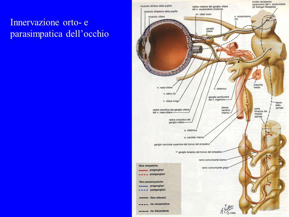 Innervazione orto- e parasimpatica dell'occhio