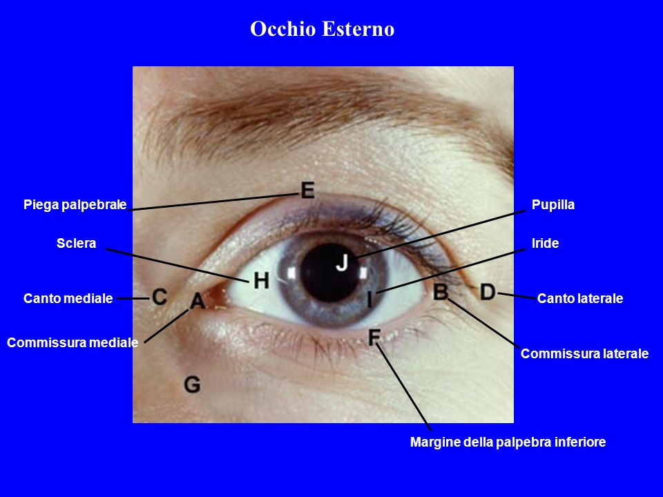 occhio esterno piega palpebrale pupilla sclera iride canto