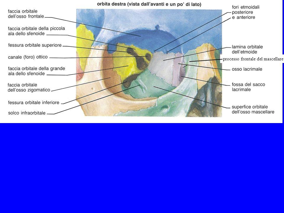 processo frontale del mascellare