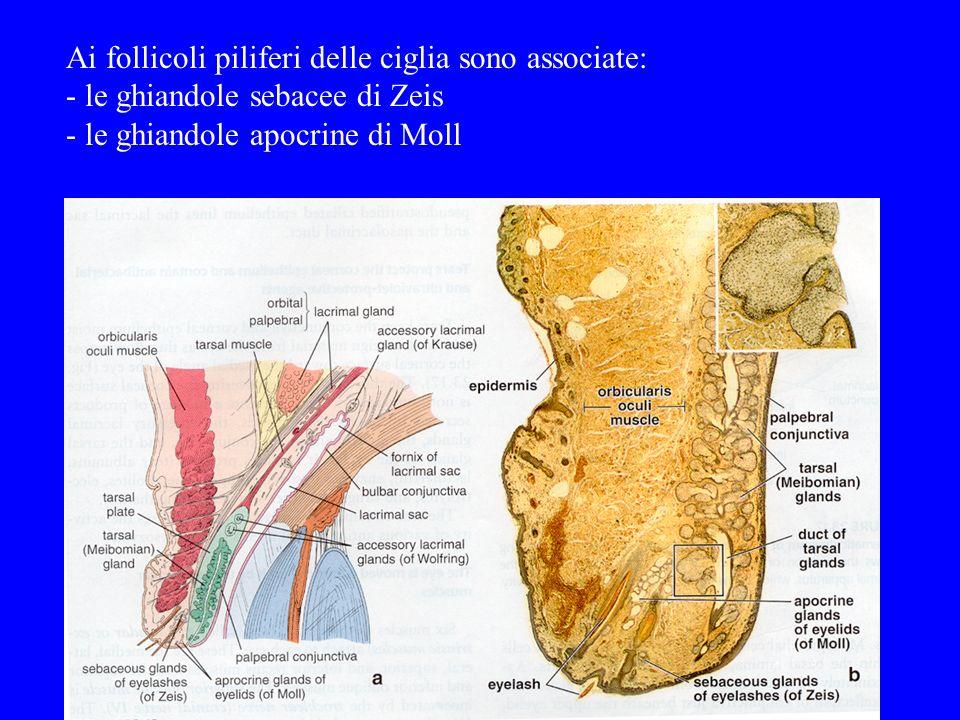 Ai follicoli piliferi delle ciglia sono associate: - le ghiandole sebacee di Zeis - le ghiandole apocrine di Moll