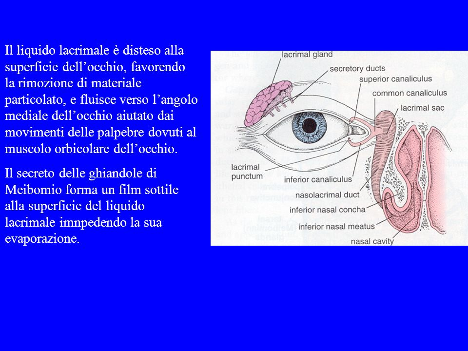 Il liquido lacrimale è disteso alla superficie dell'occhio, favorendo la rimozione di materiale particolato, e fluisce verso l'angolo mediale dell'occhio aiutato dai movimenti delle palpebre dovuti al muscolo orbicolare dell'occhio.