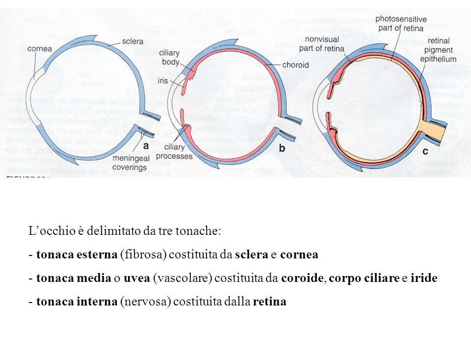 L'occhio è delimitato da tre tonache: