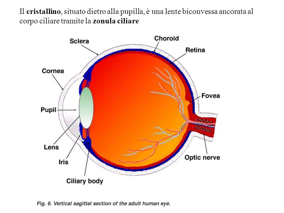 Il cristallino, situato dietro alla pupilla, è una lente biconvessa ancorata al corpo ciliare tramite la zonula ciliare