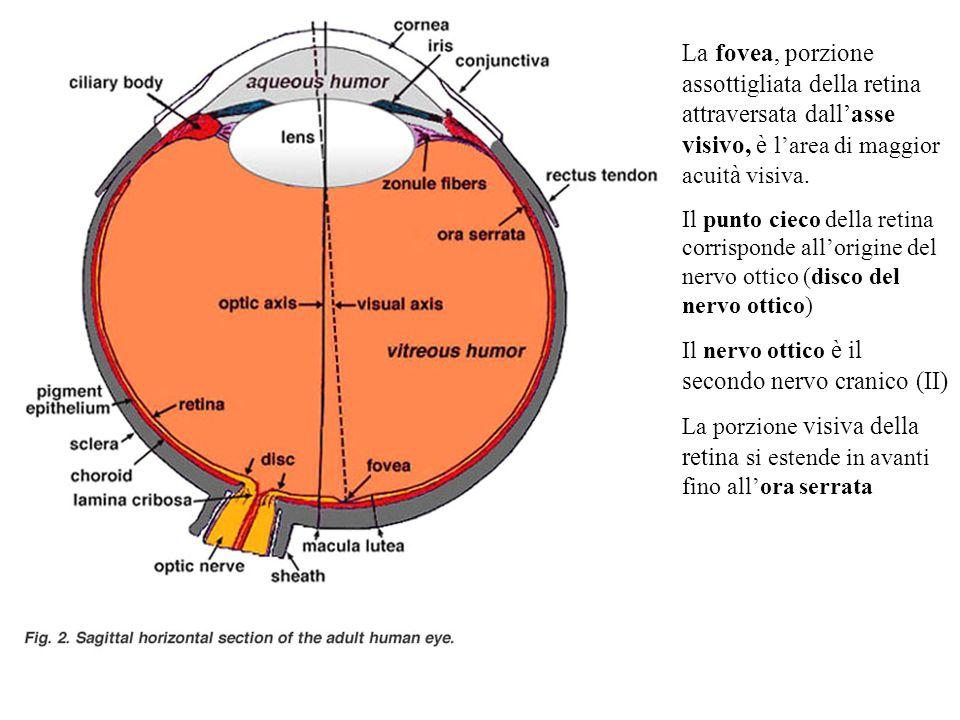 La fovea, porzione assottigliata della retina attraversata dall'asse visivo, è l'area di maggior acuità visiva.