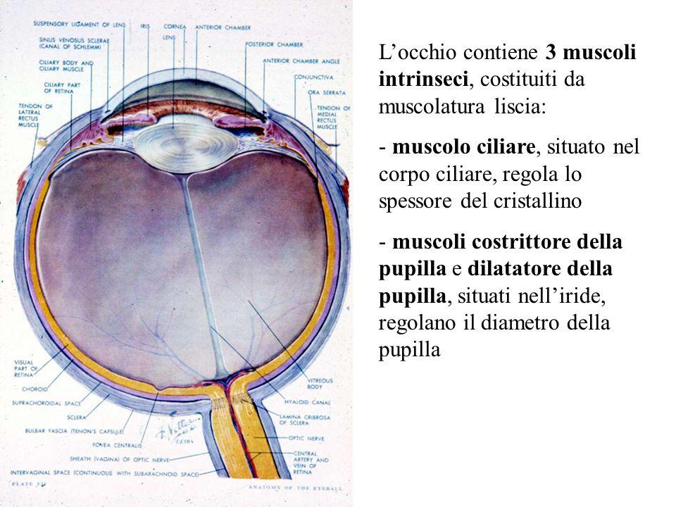 L'occhio contiene 3 muscoli intrinseci, costituiti da muscolatura liscia: