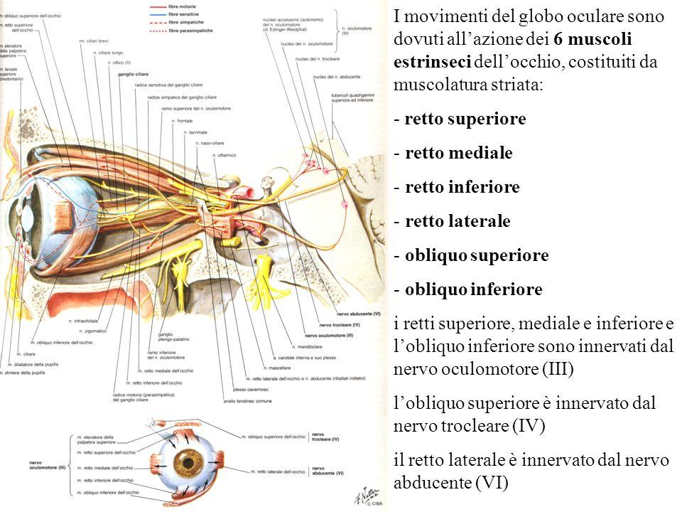 I movimenti del globo oculare sono dovuti all'azione dei 6 muscoli estrinseci dell'occhio, costituiti da muscolatura striata: