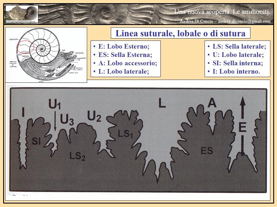 Linea suturale, lobale o di sutura