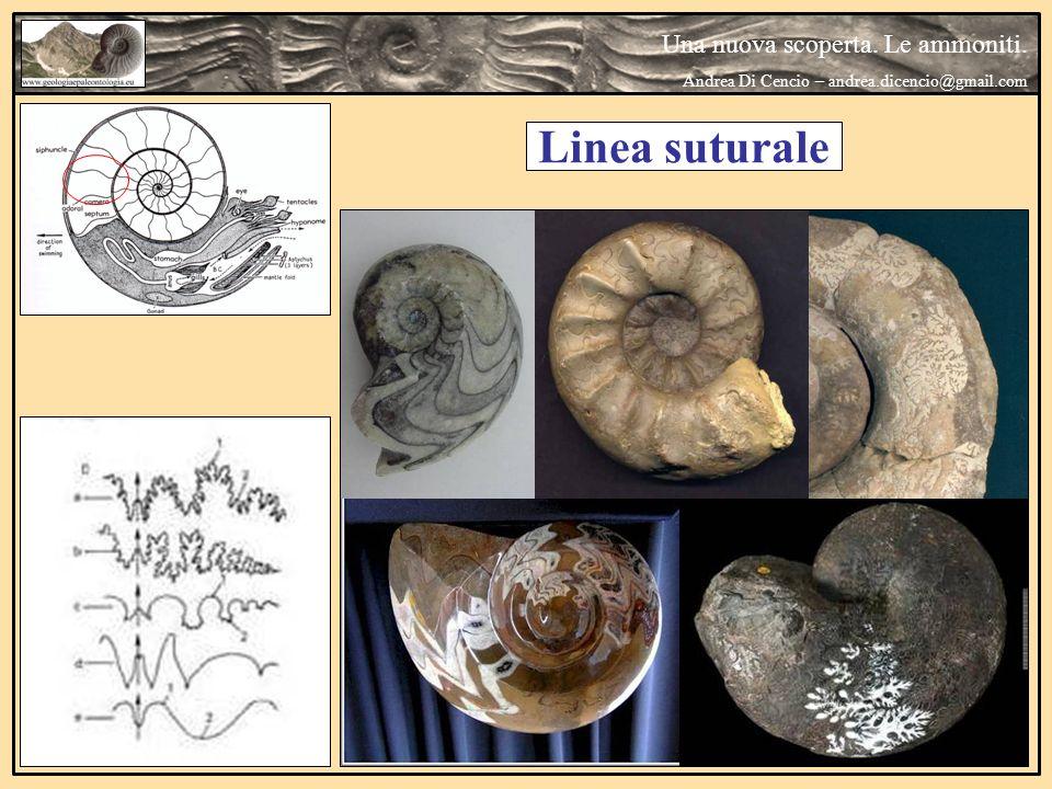 Linea suturale Una nuova scoperta. Le ammoniti.
