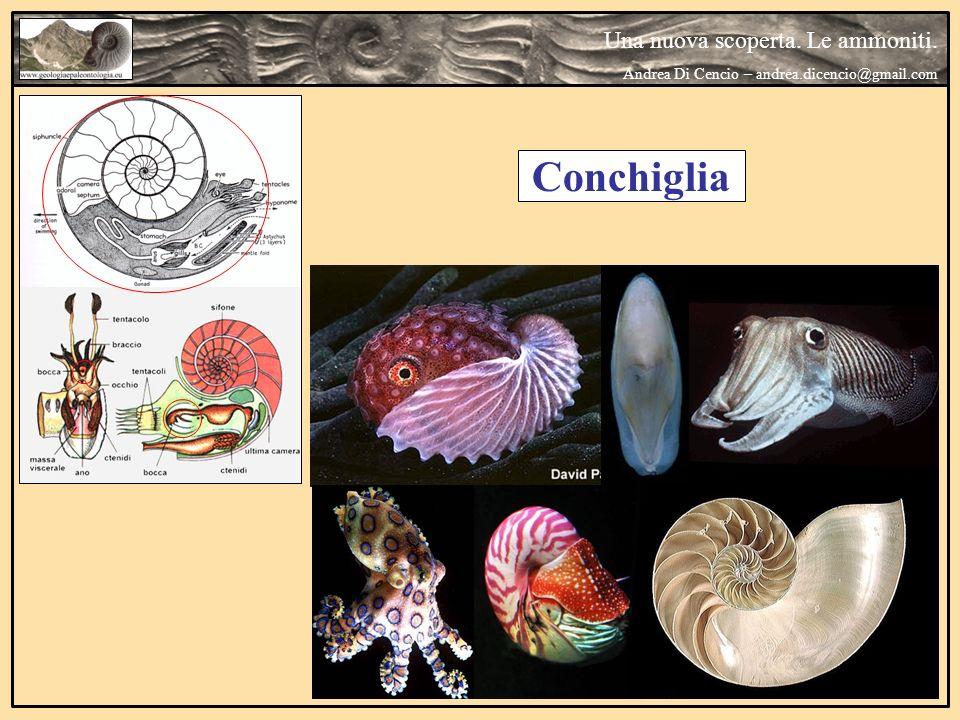 Conchiglia Una nuova scoperta. Le ammoniti.