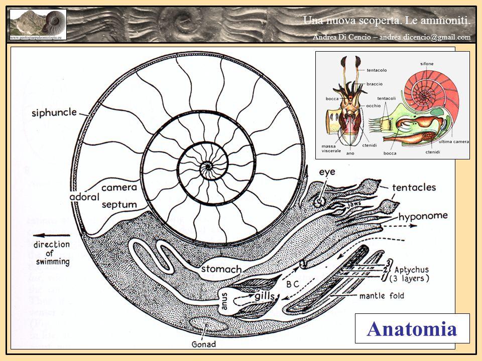 Anatomia Una nuova scoperta. Le ammoniti.
