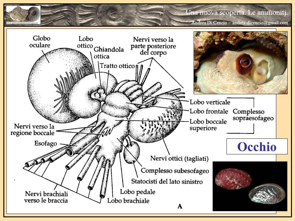 Occhio Una nuova scoperta. Le ammoniti.