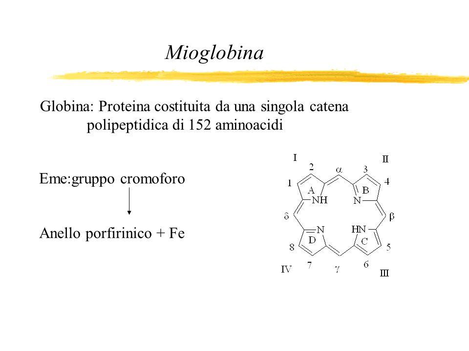 Mioglobina Globina: Proteina costituita da una singola catena polipeptidica di 152 aminoacidi. Eme:gruppo cromoforo.