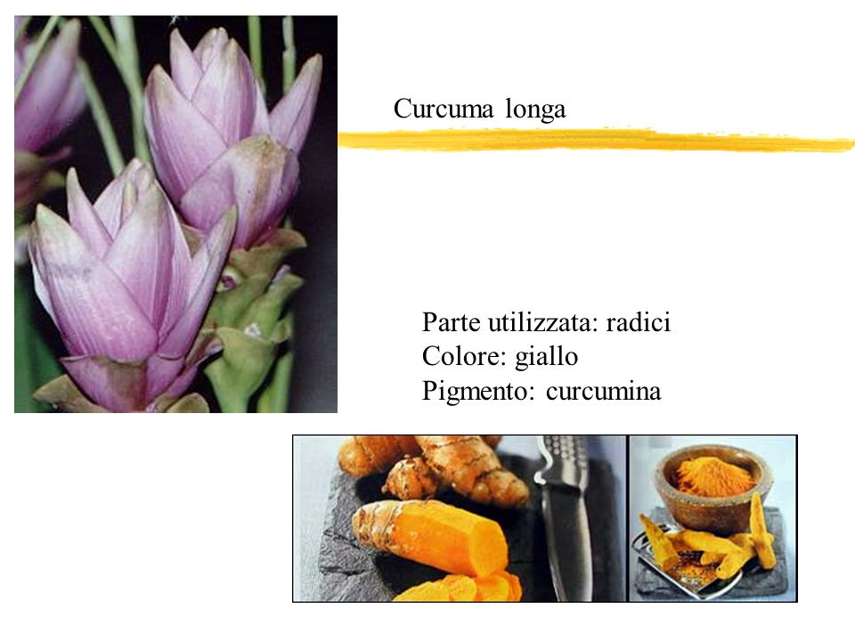 Curcuma longa Parte utilizzata: radici Colore: giallo Pigmento: curcumina