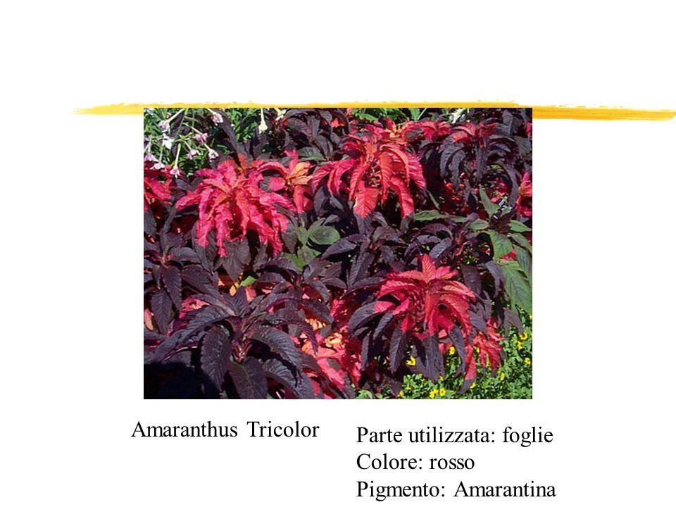 Amaranthus Tricolor Parte utilizzata: foglie Colore: rosso Pigmento: Amarantina
