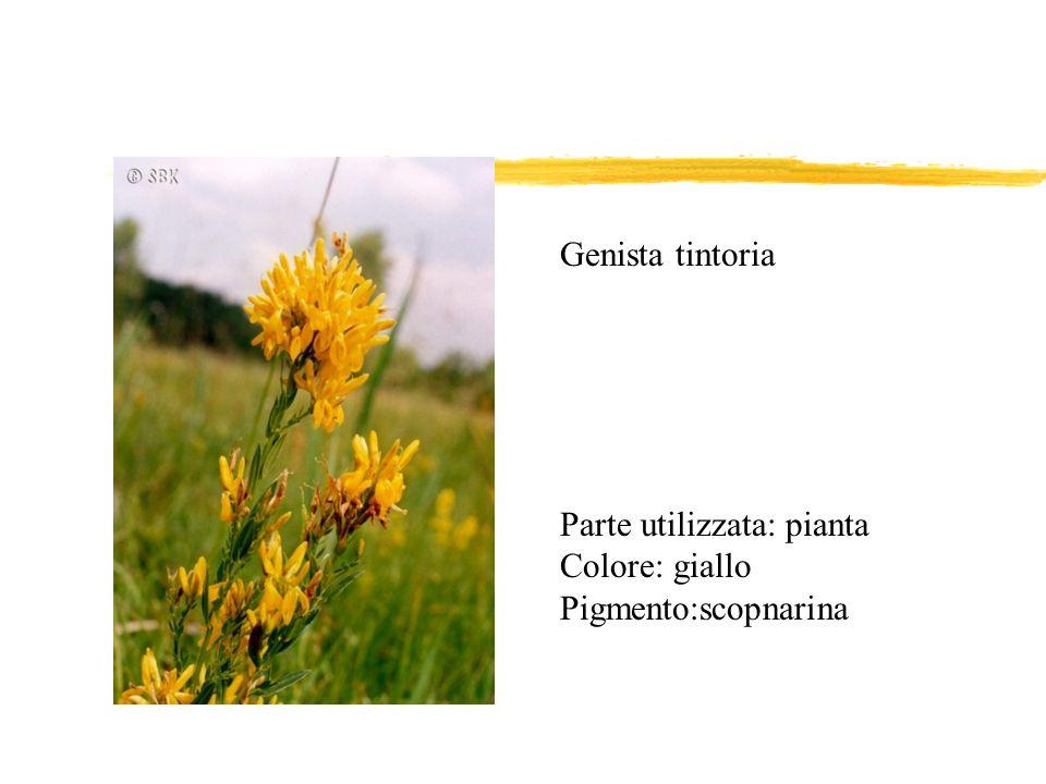 Genista tintoria Parte utilizzata: pianta Colore: giallo Pigmento:scopnarina