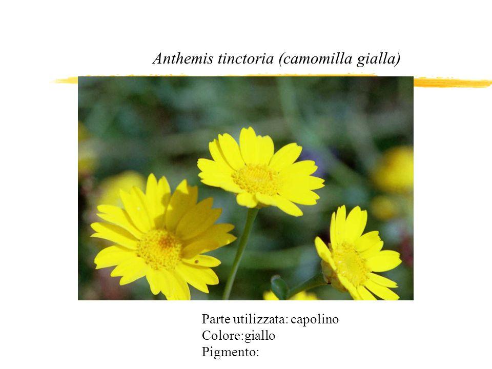 Anthemis tinctoria (camomilla gialla)