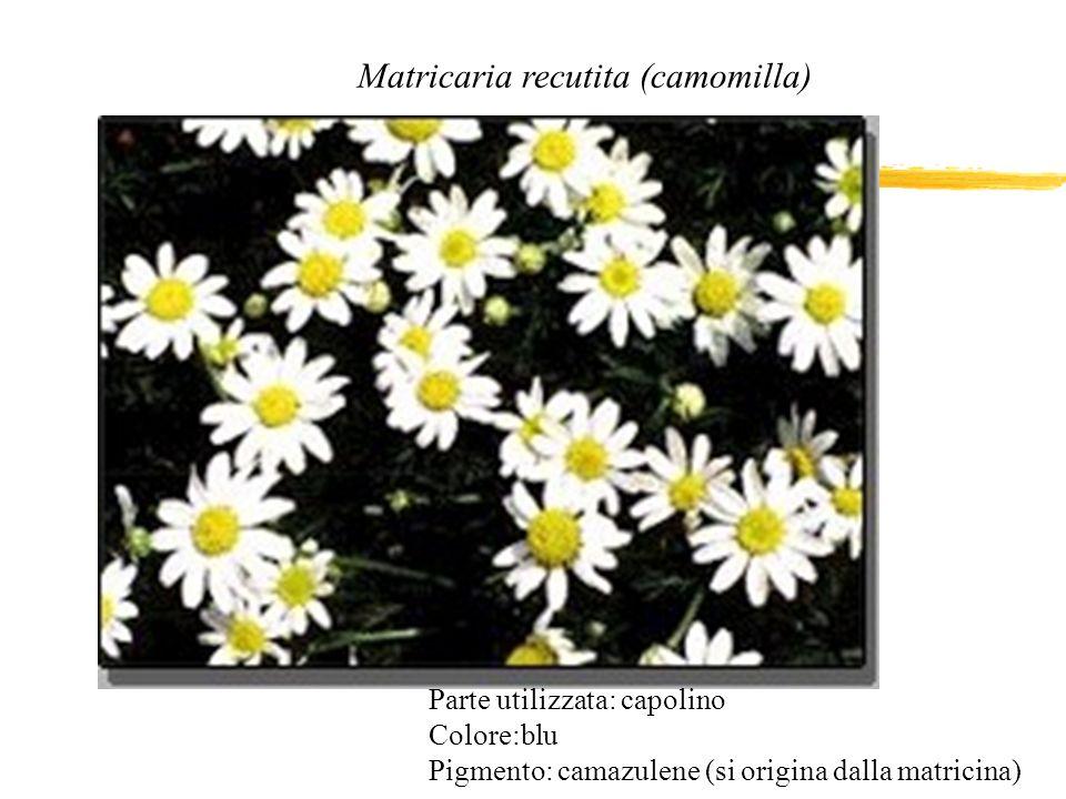 Matricaria recutita (camomilla)