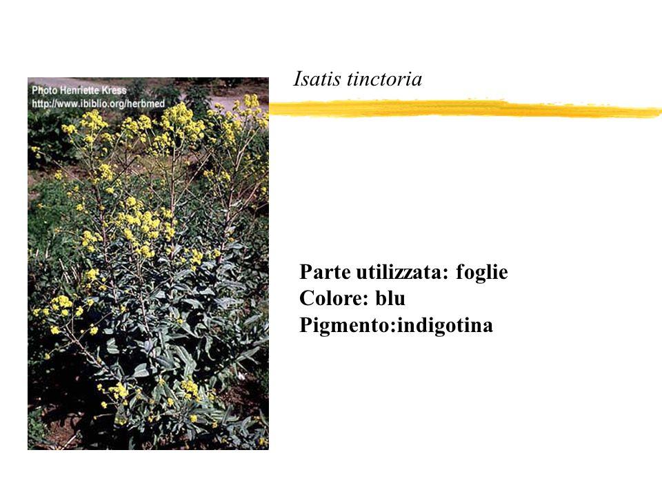 Isatis tinctoria Parte utilizzata: foglie Colore: blu Pigmento:indigotina