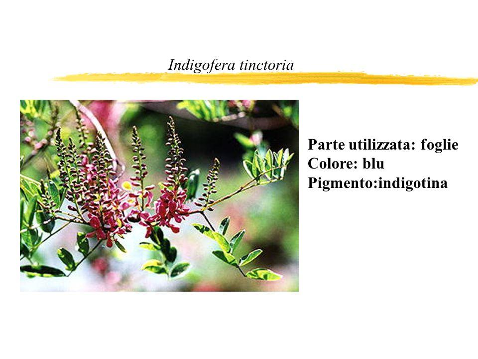 Indigofera tinctoria Parte utilizzata: foglie Colore: blu Pigmento:indigotina