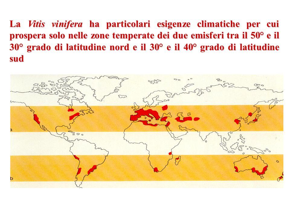 La Vitis vinifera ha particolari esigenze climatiche per cui prospera solo nelle zone temperate dei due emisferi tra il 50° e il 30° grado di latitudine nord e il 30° e il 40° grado di latitudine sud