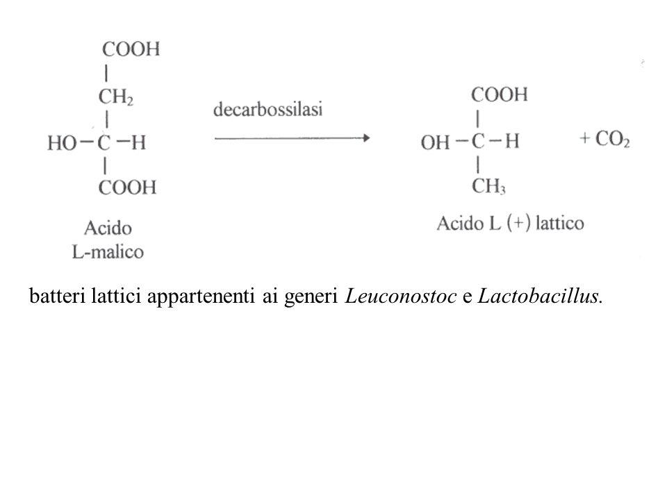 batteri lattici appartenenti ai generi Leuconostoc e Lactobacillus.
