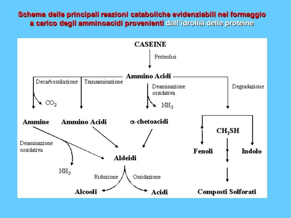 a carico degli amminoacidi provenienti dall'idrolisi delle proteine