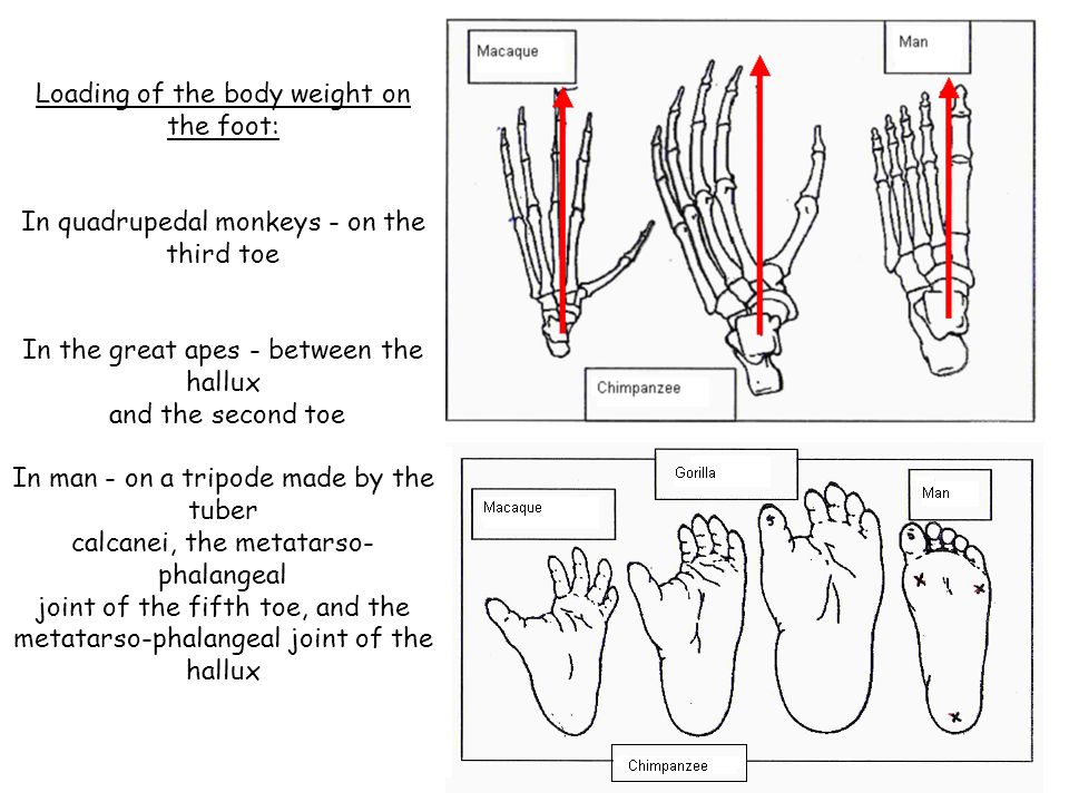 Loading of the body weight on the foot: