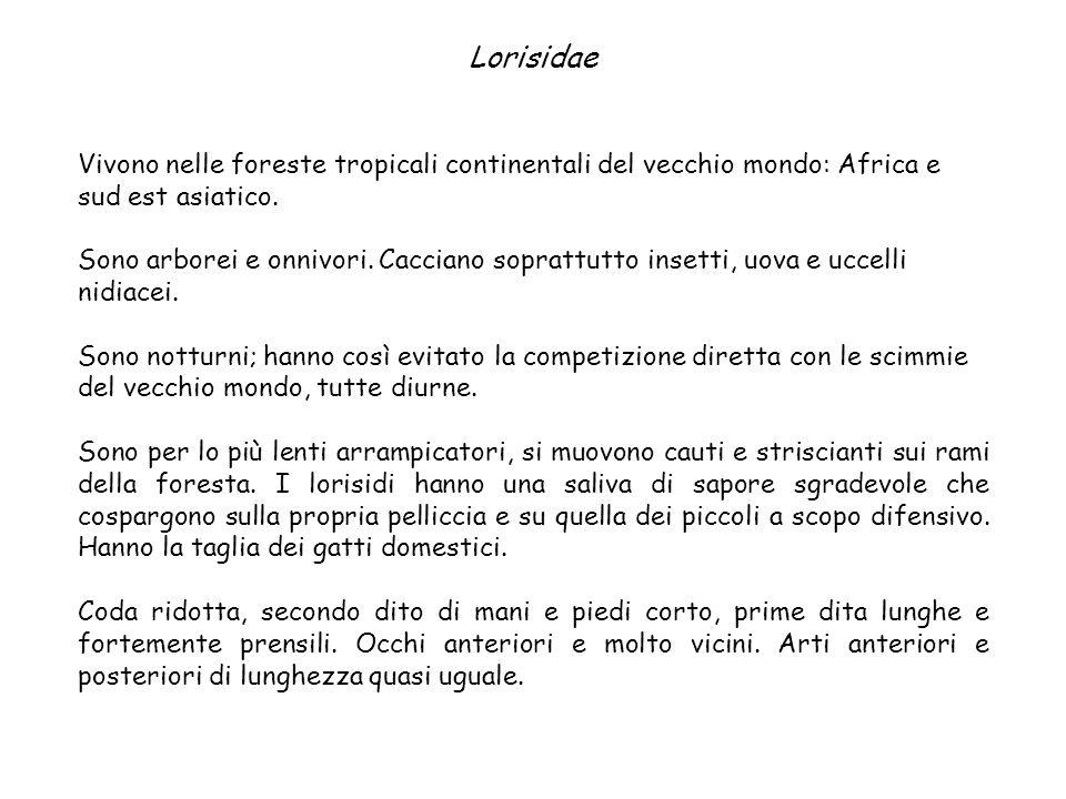 Lorisidae Vivono nelle foreste tropicali continentali del vecchio mondo: Africa e sud est asiatico.