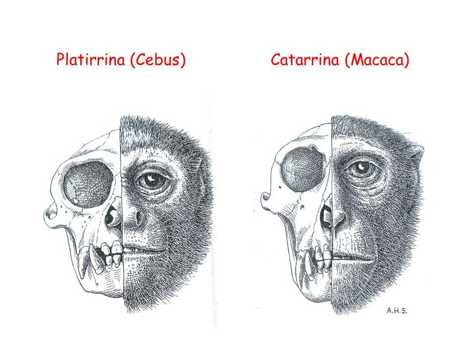 Platirrina (Cebus) Catarrina (Macaca)