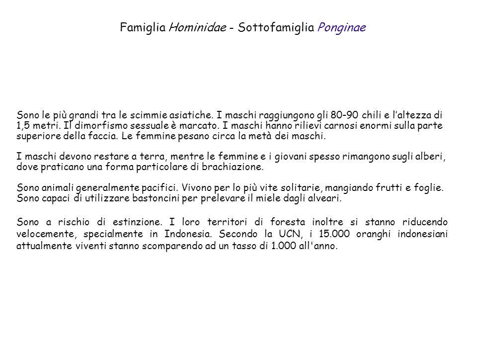 Famiglia Hominidae - Sottofamiglia Ponginae