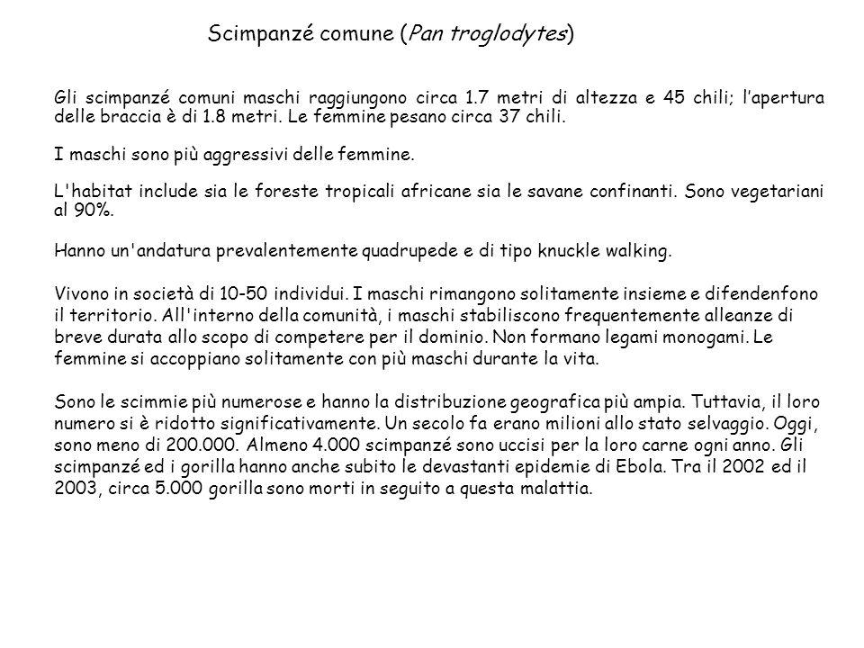 Scimpanzé comune (Pan troglodytes)