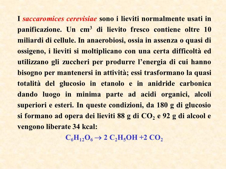 I saccaromices cerevisiae sono i lieviti normalmente usati in panificazione. Un cm3 di lievito fresco contiene oltre 10 miliardi di cellule. In anaerobiosi, ossia in assenza o quasi di ossigeno, i lieviti si moltiplicano con una certa difficoltà ed utilizzano gli zuccheri per produrre l'energia di cui hanno bisogno per mantenersi in attività; essi trasformano la quasi totalità del glucosio in etanolo e in anidride carbonica dando luogo in minima parte ad acidi organici, alcoli superiori e esteri. In queste condizioni, da 180 g di glucosio si formano ad opera dei lieviti 88 g di CO2 e 92 g di alcool e vengono liberate 34 kcal:
