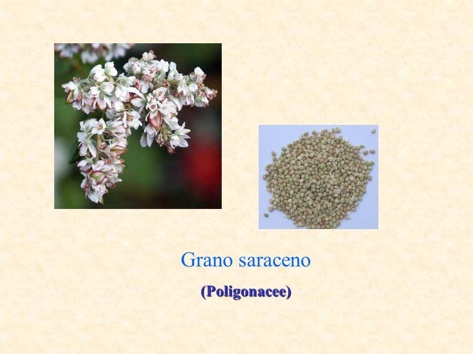 Grano saraceno (Poligonacee)