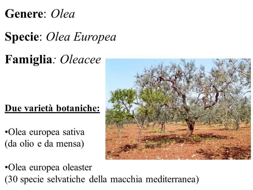 Genere: Olea Specie: Olea Europea Famiglia: Oleacee