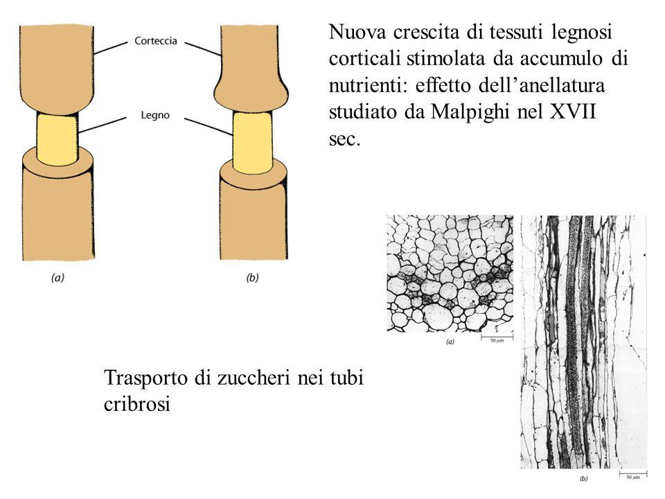 Nuova crescita di tessuti legnosi corticali stimolata da accumulo di nutrienti: effetto dell'anellatura studiato da Malpighi nel XVII sec.