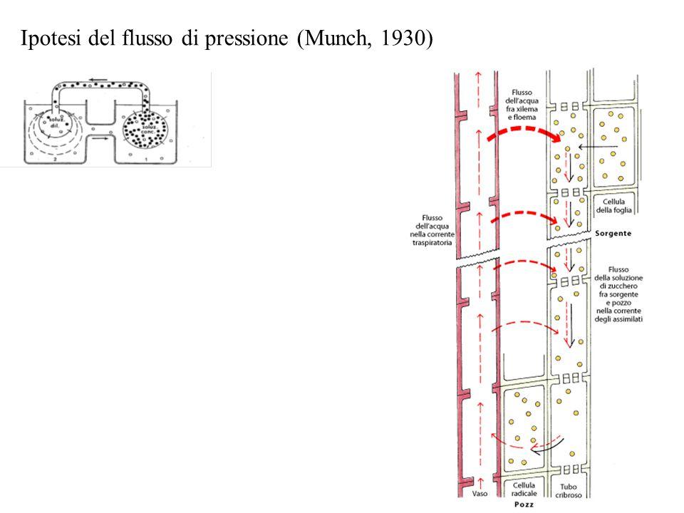 Ipotesi del flusso di pressione (Munch, 1930)