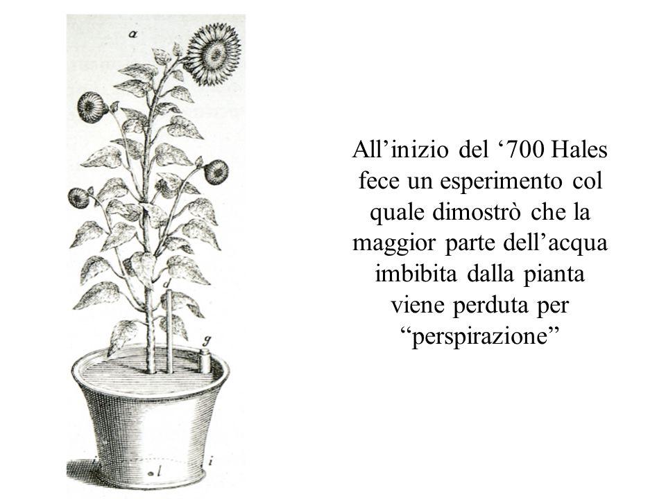 All'inizio del '700 Hales fece un esperimento col quale dimostrò che la maggior parte dell'acqua imbibita dalla pianta viene perduta per perspirazione