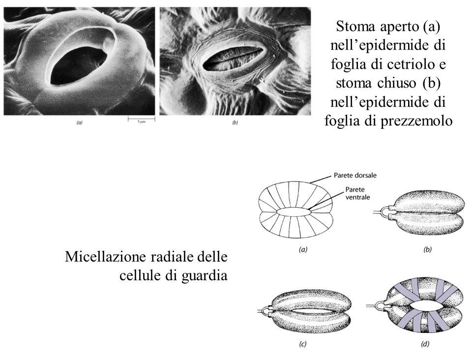 Stoma aperto (a) nell'epidermide di foglia di cetriolo e stoma chiuso (b) nell'epidermide di foglia di prezzemolo
