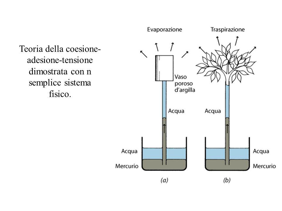 Teoria della coesione-adesione-tensione dimostrata con n semplice sistema fisico.