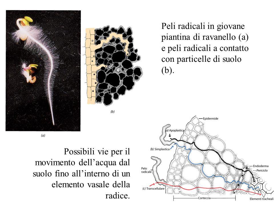 Peli radicali in giovane piantina di ravanello (a) e peli radicali a contatto con particelle di suolo (b).
