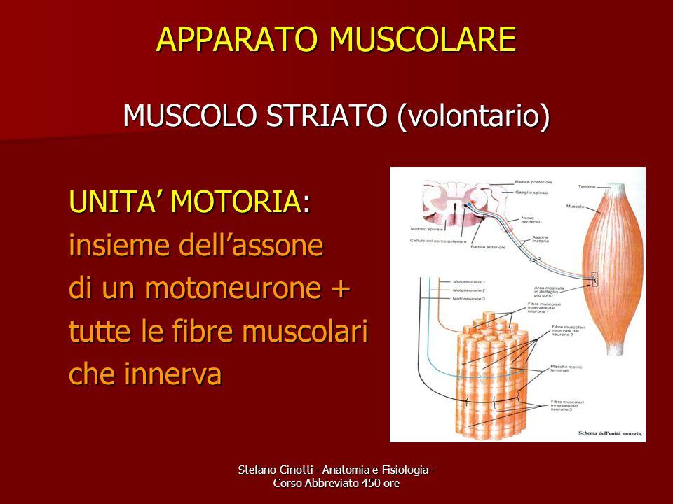 APPARATO MUSCOLARE MUSCOLO STRIATO (volontario) UNITA' MOTORIA:
