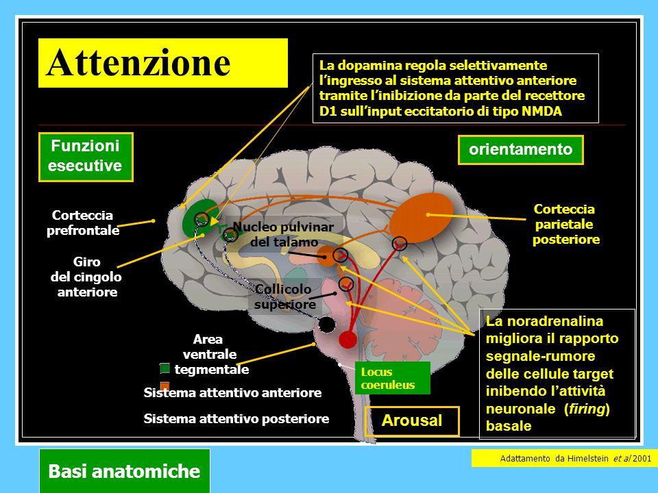 Attenzione Basi anatomiche Funzioni esecutive orientamento Arousal