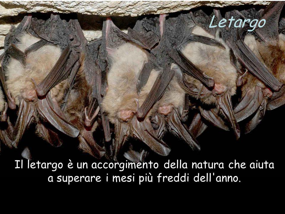 Letargo Il letargo è un accorgimento della natura che aiuta a superare i mesi più freddi dell anno.