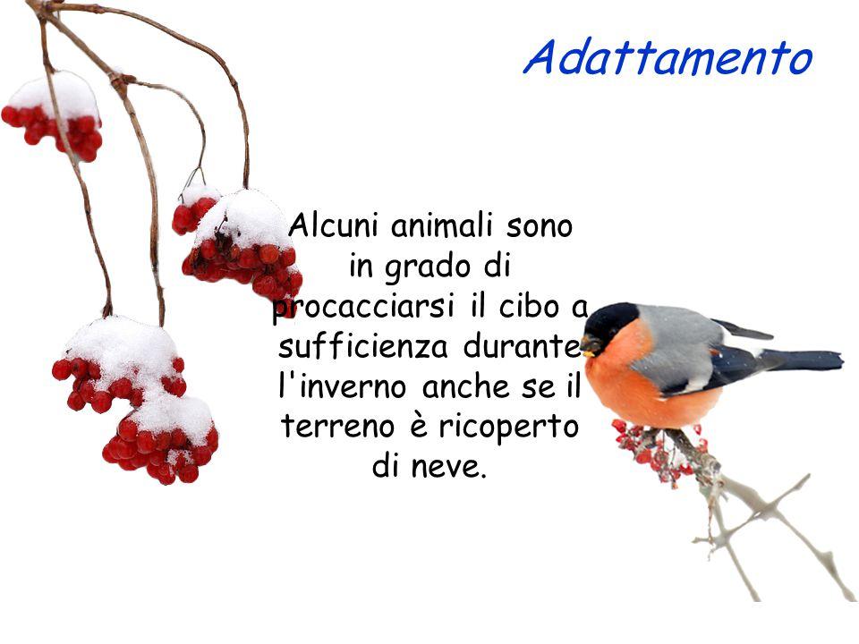 Adattamento Alcuni animali sono in grado di procacciarsi il cibo a sufficienza durante l inverno anche se il terreno è ricoperto di neve.