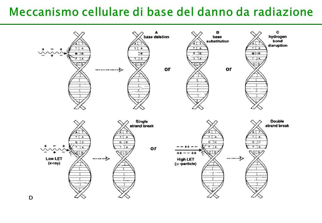 Meccanismo cellulare di base del danno da radiazione