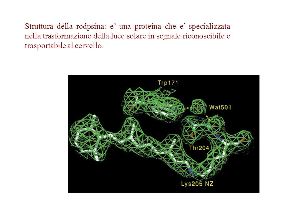Struttura della rodpsina: e' una proteina che e' specializzata nella trasformazione della luce solare in segnale riconoscibile e trasportabile al cervello.