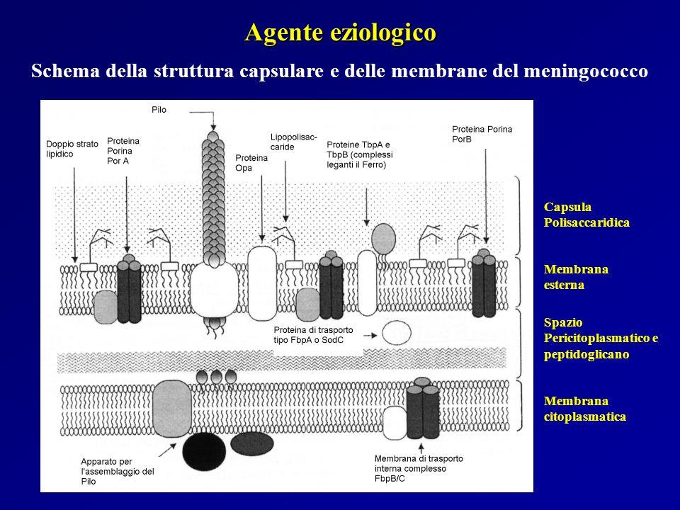 Schema della struttura capsulare e delle membrane del meningococco
