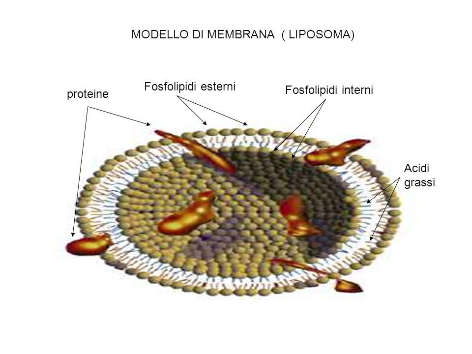 MODELLO DI MEMBRANA ( LIPOSOMA)