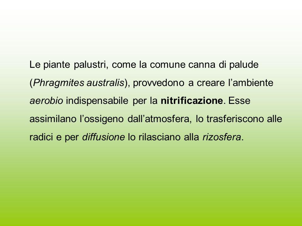 Le piante palustri, come la comune canna di palude (Phragmites australis), provvedono a creare l'ambiente aerobio indispensabile per la nitrificazione.